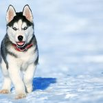 Siberian Husky Price in USA